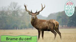 Brame du cerf Ariège Pyrénées