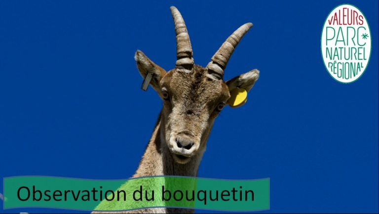 Observation Bouquetin Ariège