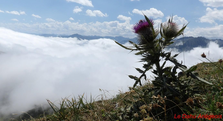 Flore montagne - Chardon