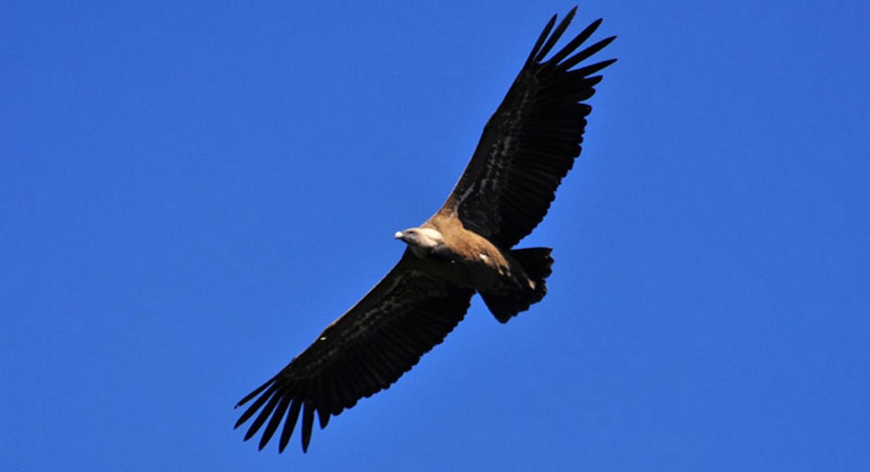 vautour fauve Rapace Pyrénées