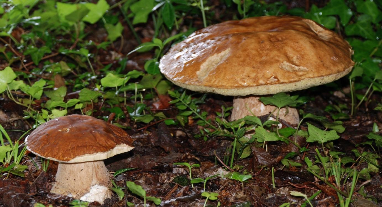 Champignon - Cèpes col des Marrous