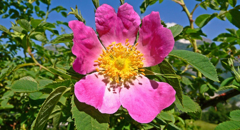 Flore de montagne Pyrénées